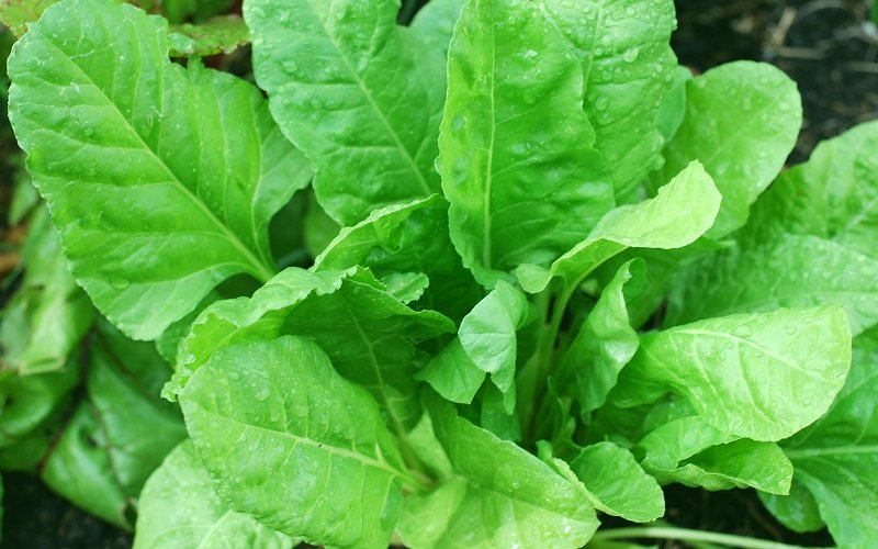 Spinach - Rich source of iron and calcium