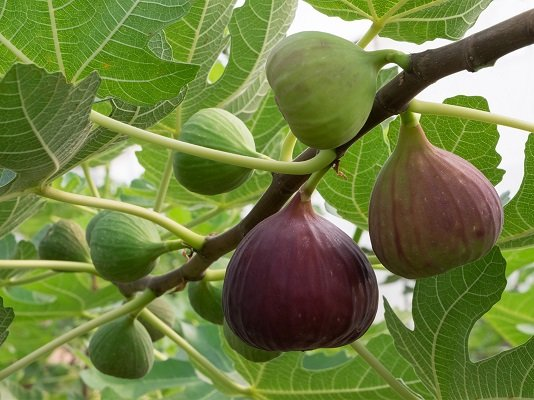 Figs and fig tree